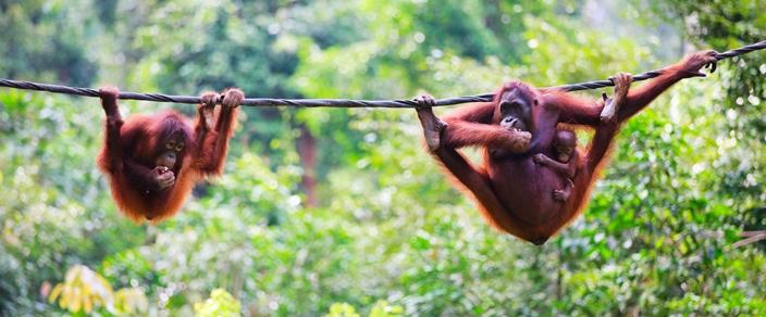 orangutans-in-borneo